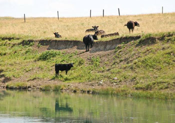 cows on grass dam
